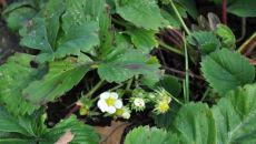 Listopadowe truskawki (Kontakt Meteo/Casimirus)