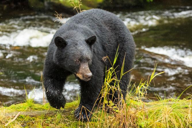 Niedźwiedź czarny (Shutterstock)