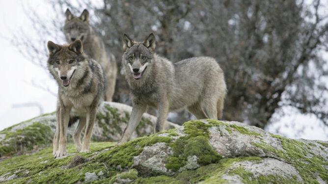 Coraz więcej wypadków samochodowych z udziałem wilków