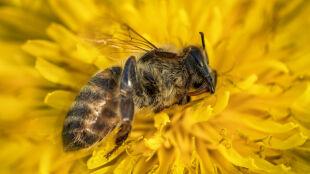 Na ratunek pszczołom. Unia poparła zakaz używania trzech groźnych pestycydów
