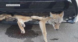 Kojot przejechał 35 kilometrów w zderzaku
